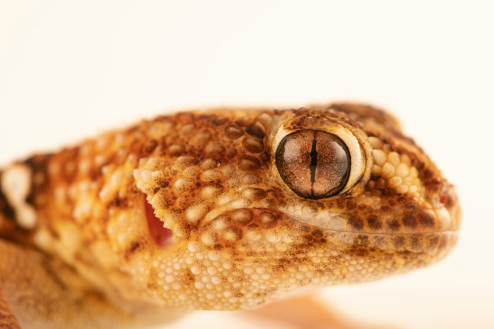 Photo: A Giant Namibian sand gecko (Chondrodactylus angulifer angulifer) from a private collection.