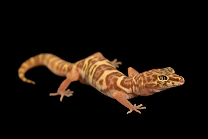 Photo: A Western banded gecko (Coleonyx variegatus variegatus) from a private collection.