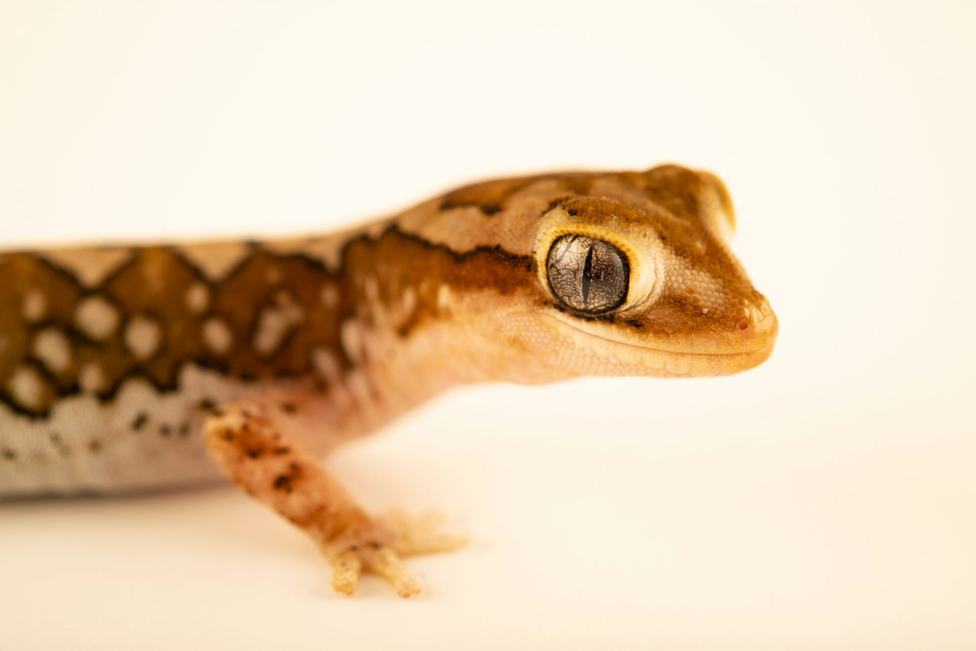 Photo: A Ranges stone gecko (Diplodactylus furcosus) from a private collection.