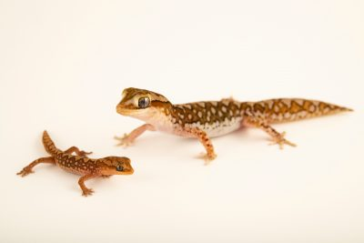 Photo: An adult male Ranges stone gecko (Diplodactylus furcosus) with a one-month-old baby from a private collection.