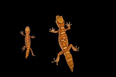 Photo: Two Australian helmeted geckos (Diplodactylus galeatus) from a private collection.