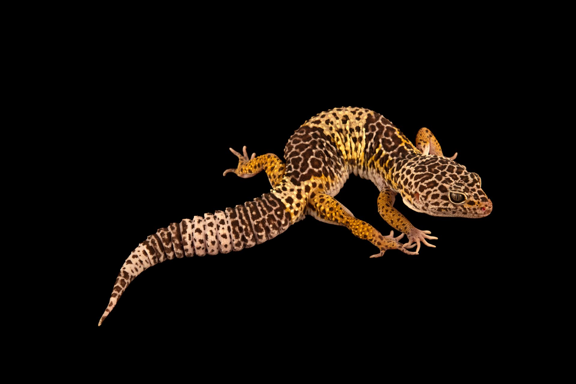 Photo: A West Indian leopard gecko (Eublepharis fuscus) from a private collection.