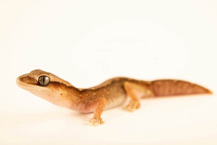 Photo: An Eastern stone gecko (Diplodactylus vittatus) from a private collection.