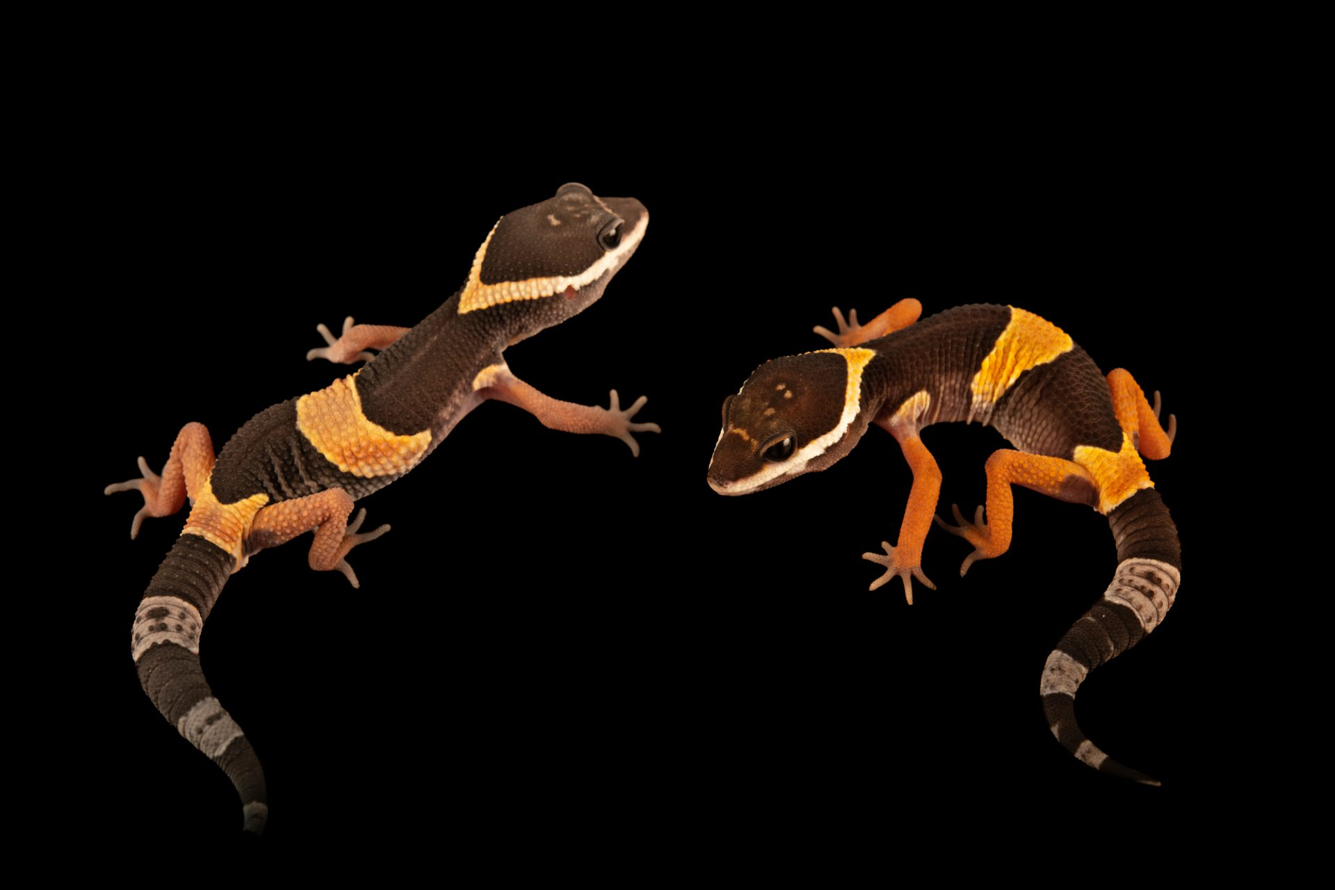 Photo: Two East Indian leopard geckos (Eublepharis hardwickii) from a private collection.
