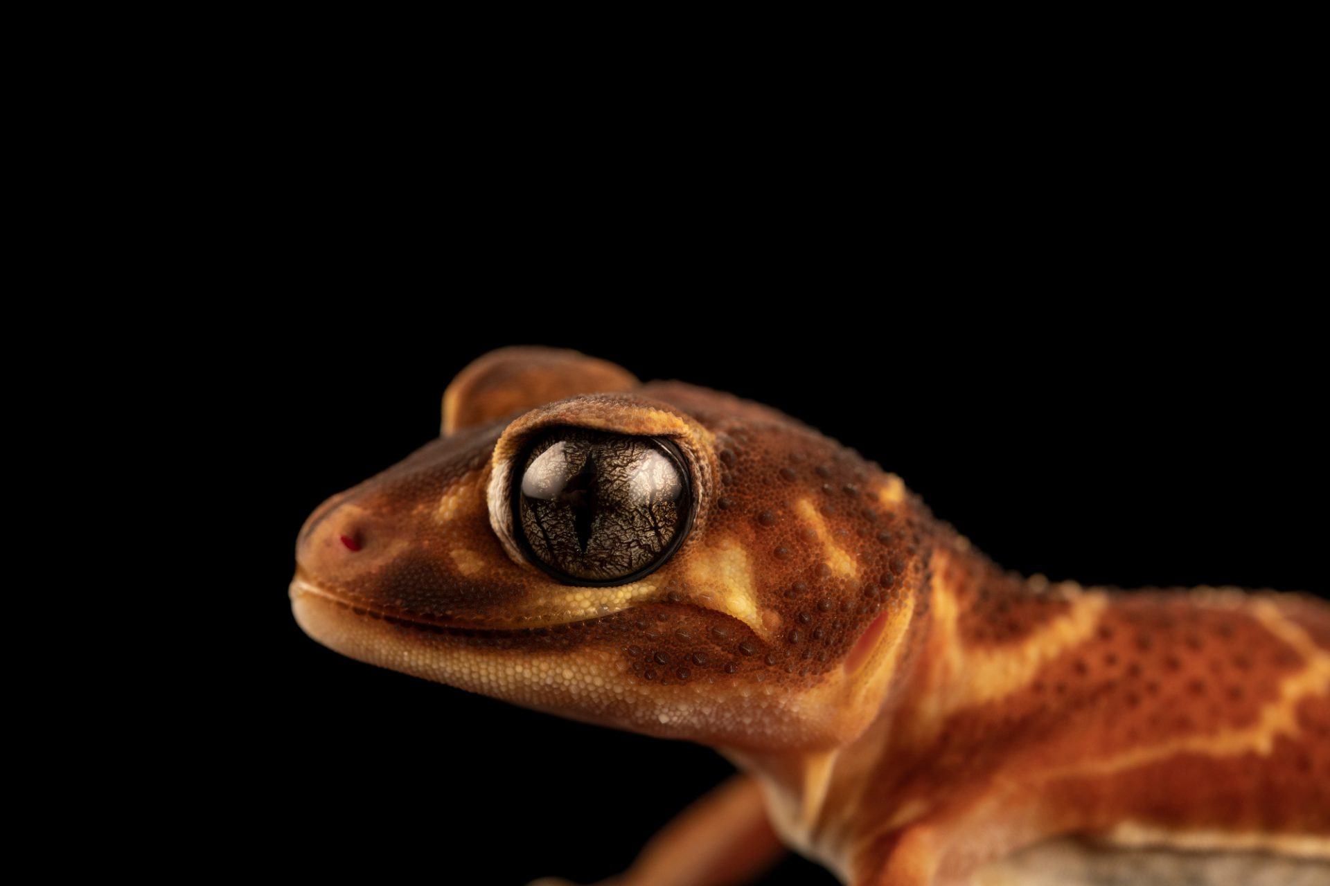 Photo: A Three-lined or smooth knob-tailed gecko (Nephrurus levis levis) from a private collection.