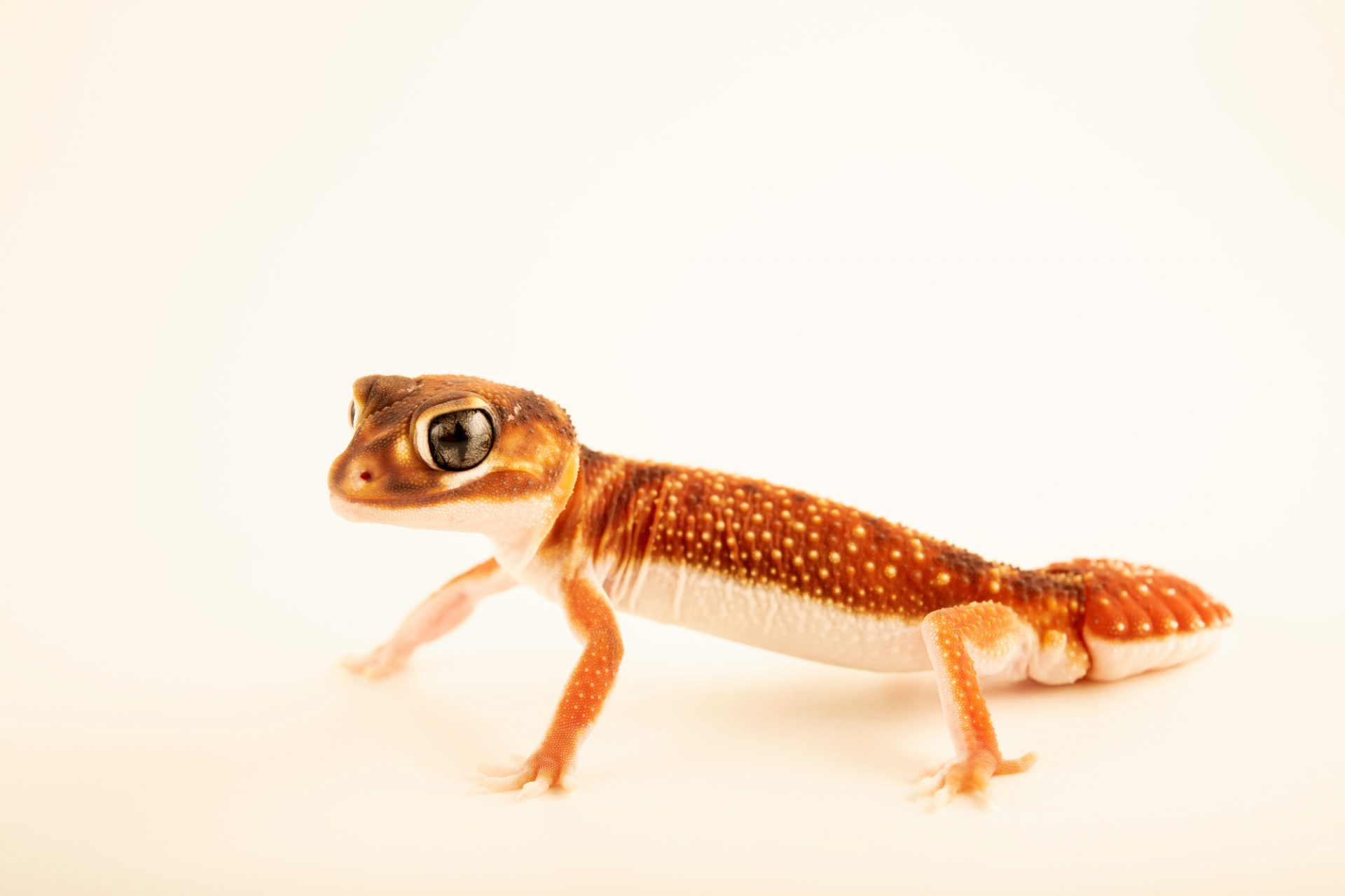 Photo: A Western smooth knob-tailed gecko (Nephrurus levis pilbarensis) from a private collection.
