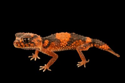 Photo: A Banded knob-tailed gecko (Nephrurus wheeleri wheeleri) from a private collection.