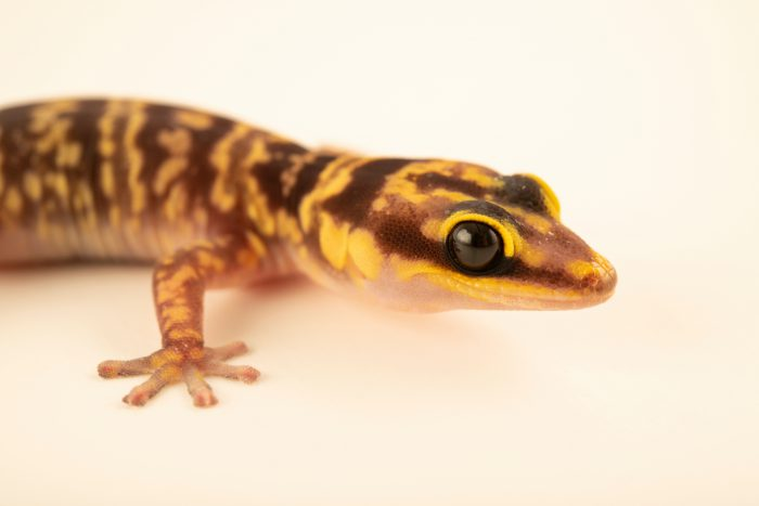 Photo: A Western marbled velvet gecko (Oedura fimbria) from a private collection.