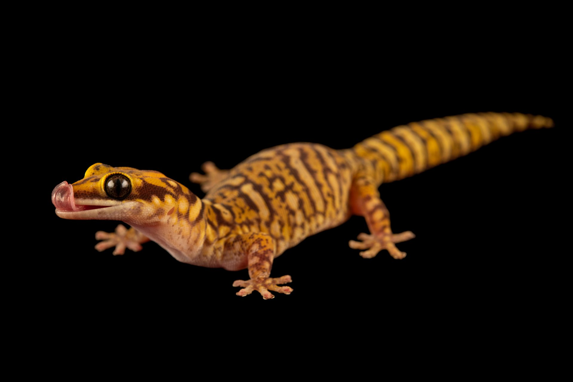 Photo: A CoggerÕs velvet gecko (Oedura coggeri) from a private collection.