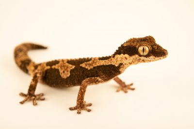 Photo: An African thick-toed gecko (Pachydactylus rugosus) from a private collection.