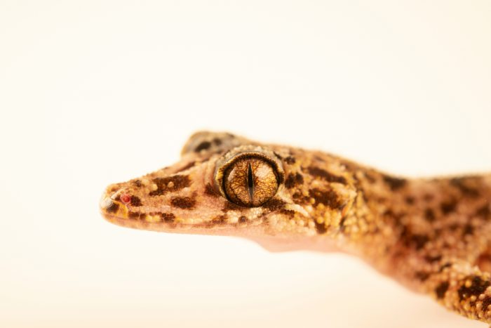 Photo: A Riverine leaf-tailed gecko (Phyllurus amnicola) from a private collection.
