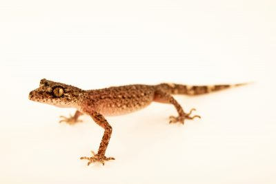 Photo: A Ringed leaf-tailed gecko (Phyllurus caudiannulatus) from a private collection.
