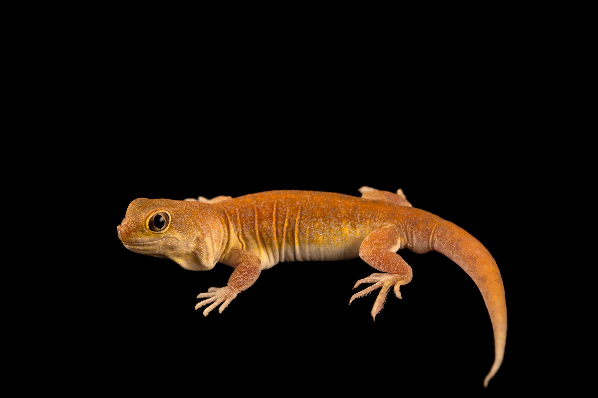 Photo: A KochÕs barking gecko (Ptenopus kochi) from a private collection.
