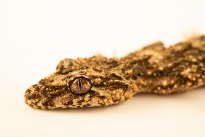 Photo: A Wyberba leaf-tailed gecko (Saltuarius wyberba) from a private collection.