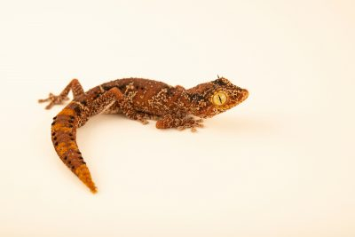 Photo: A Northern spiny-tailed gecko (Strophurus ciliaris ciliaris) from a private collection.