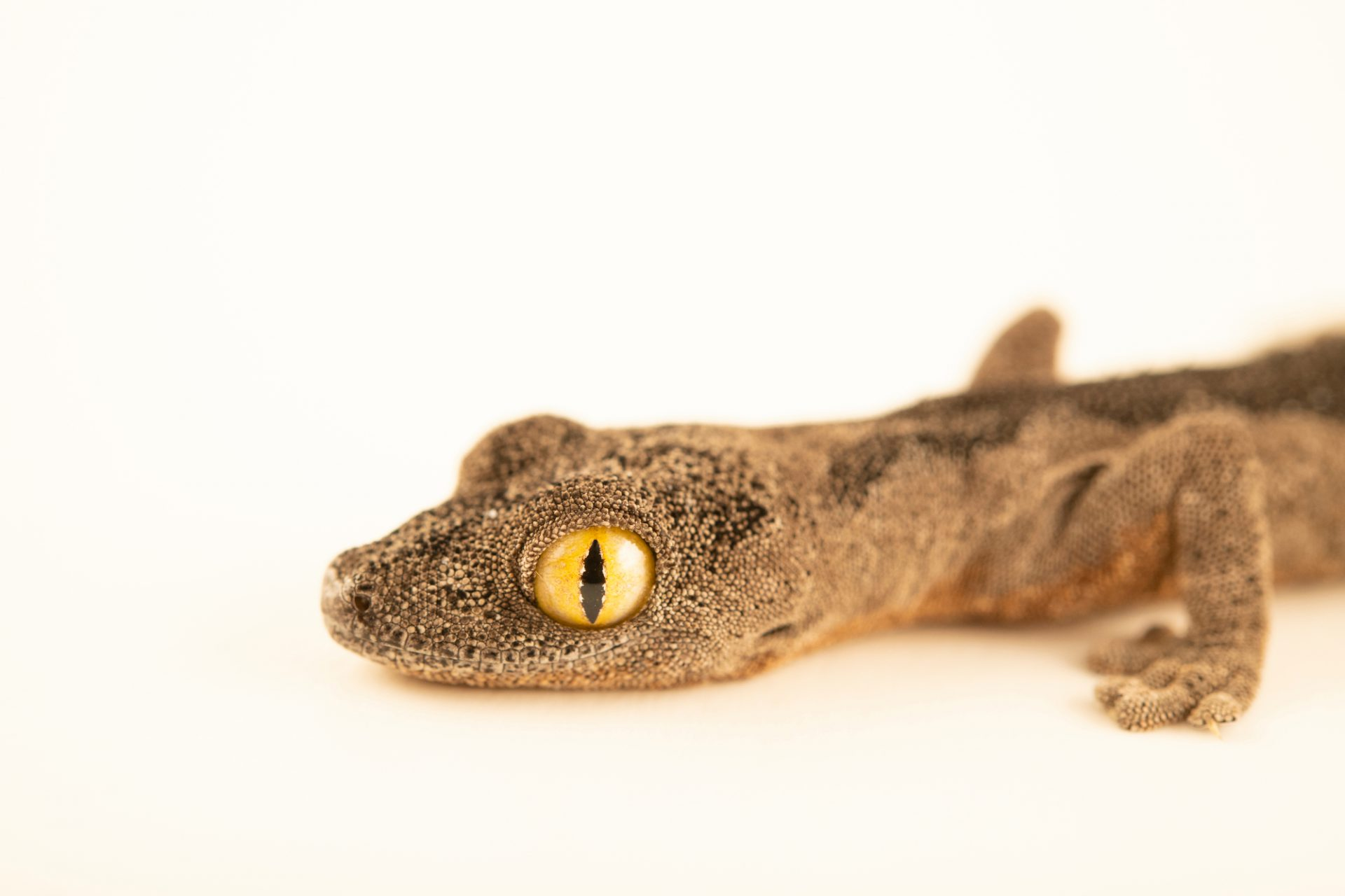 Photo: A Soft spiny-tailed gecko (Strophurus spinigerus) from a private collection.