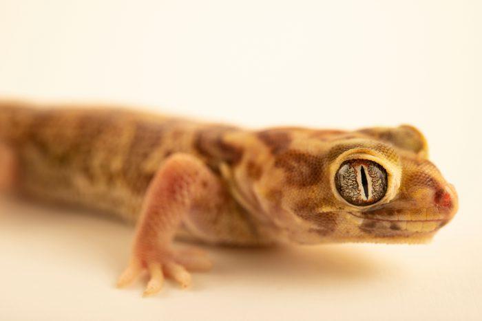 Photo: A BedriagaÕs wonder gecko (Teratoscincus bedriagai) from a private collection.