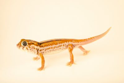 Photo: A Frog-eyed gecko (Teratoscincus keyserlingii) from a private collection.
