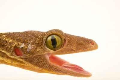 A green eye gecko (Gekko smithii) in Jakarta, Indonesia in the care of PT. Alam Nusantara Jayatama.