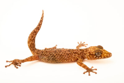 Photo: A nosy be ground gecko (Paroedura oviceps) at the Plzen Zoo in the Czech Republic.