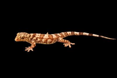 Photo: A antongil velvet gecko (Blaesodactylus antongilensis) at the Plzen Zoo in the Czech Republic.