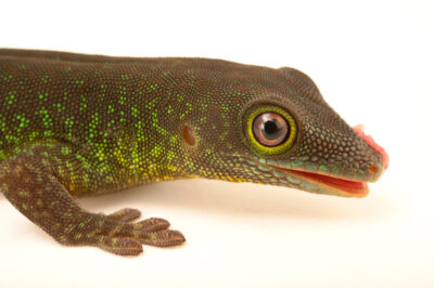 Photo: A La Digue standing day gecko (Phelsuma sunbergi ladiguensis) at the Plzen Zoo in the Czech Republic.