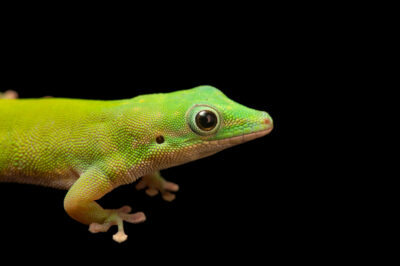 Photo: A Andaman day gecko (Phelsuma andamanense) at the Plzen Zoo in the Czech Republic.