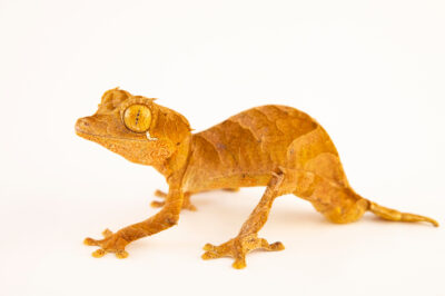 Photo: A spearpoint leaf-tail gecko (Uroplatus ebenaui) from a private collection.
