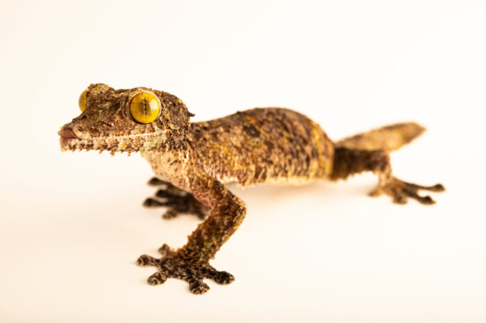 Photo: A leaf-tailed gecko (Uroplatus sameiti) from private collection.