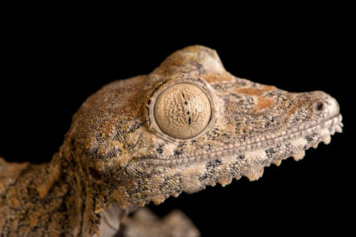 Photo: A female white-eyed giant leaf-tailed gecko (Uroplatus giganteus) at Riverbanks Zoo and Garden.