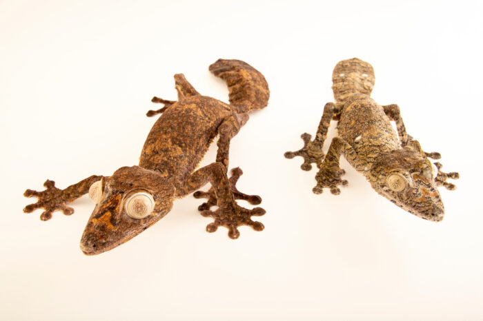 Photo: A pair of white-eyed giant leaf-tailed gecko (Uroplatus giganteus) at Riverbanks Zoo and Garden.