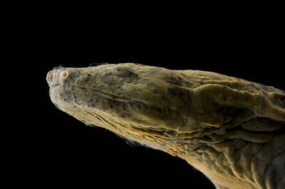Picture of a federally endangered Ozark hellbender (Cryptobranchus alleganiensis bishopi), infected with chytrid fungus, at the St. Louis Zoo, St. Louis, Missouri.
