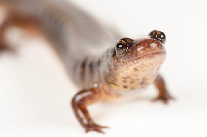 A southern two-lined salamander (Eurycea cirrigera) at the Riverbanks Zoo, Columbia, South Carolina.