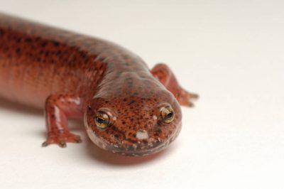 A red salamander (Pseudotriton ruber) at Zoo Atlanta, Atlanta, Georgia.