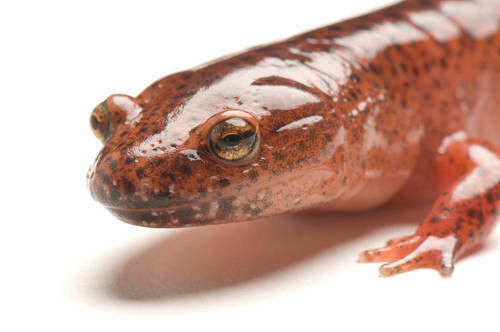 A red salamander (Pseudotriton ruber) at Zoo Atlanta, Atlanta, Georgia.
