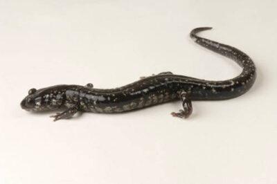 A slimy salamander (Plethodon glutinosus glutinosus) at the Toledo Zoo, Toledo, Ohio.