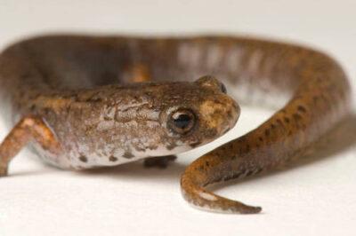 A four-toed salamander (Hemidactylium scutatum) at the Toledo Zoo, Toledo, Ohio.