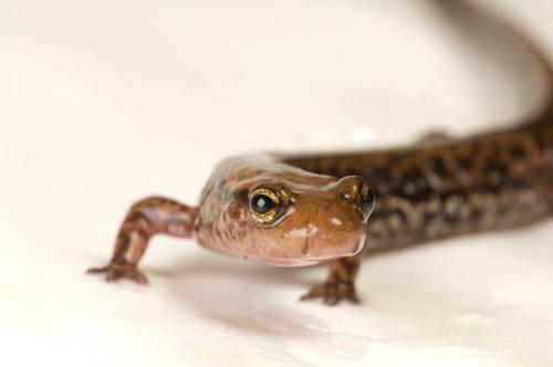 A longtail salamander (Eurycea longicauda longicauda) at the Toledo Zoo, Toledo, Ohio.