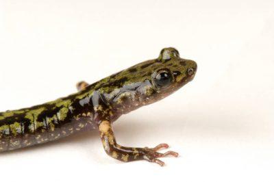 A green salamander (Aneides aeneus) at the Toledo Zoo, Toledo, Ohio. (IUCN: Near Threatened)