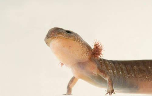 A Texas cave salamander (Eurycea neotenes) at the Detroit Zoo, Detroit, Michigan. (IUCN: Vulnerable)