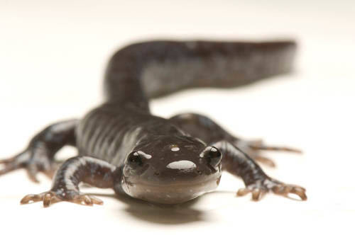 A Jefferson salamander (Ambystoma jeffersonianum) at the National Mississippi River Museum and Aquarium in Dubuque, IA.