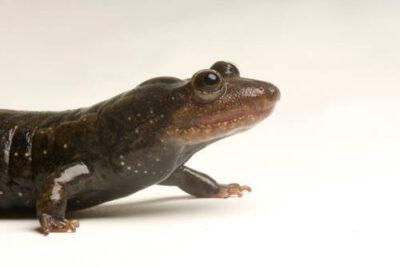 A blackbelly salamander (Desmognathus quadramaculatus) at the National Mississippi River Museum and Aquarium, Dubuque, Iowa.