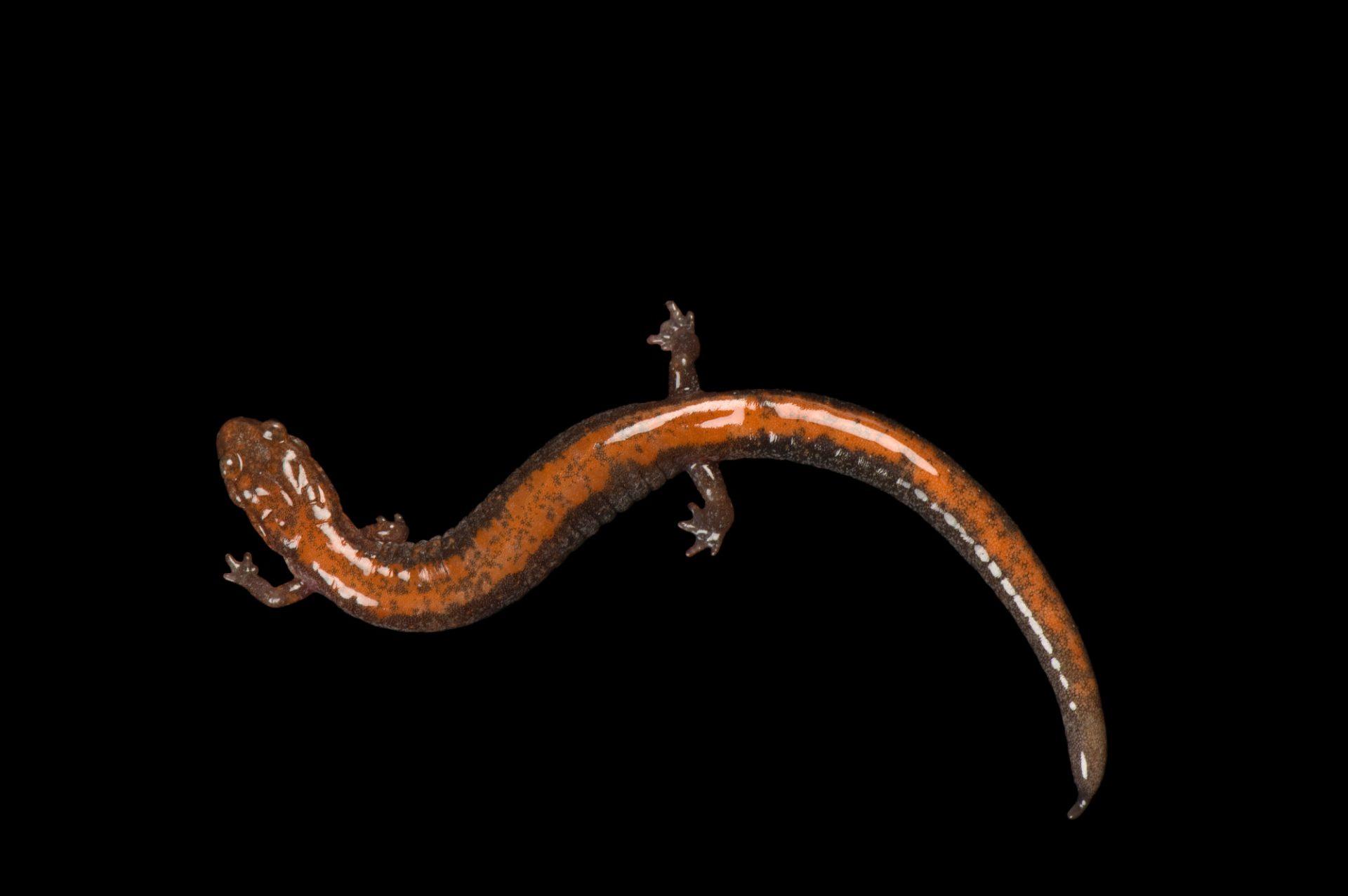 A redback salamander (Plethodon cinereus) at the National Mississippi River Museum and Aquarium, Dubuque, Iowa.