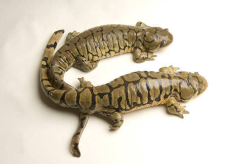 A blotched or banded tiger salamander (Ambystoma mavortium melanostictum) at the National Mississippi River Museum and Aquarium, Dubuque, Iowa.