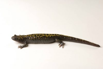 A long-toed salamander (Ambystoma macrodactylum) at the Sunriver Nature Center, Deschutes County, Oregon.