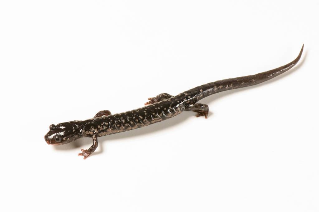 A western slimy salamander (Plethodon albagula) at the Tulsa Zoo, Tulsa, Oklahoma.