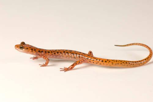 A cave salamander (Eurycea lucifuga) at the Tulsa Zoo, Tulsa, Oklahoma.