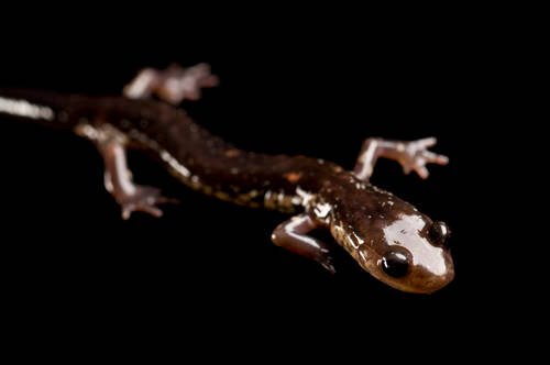 A Wehrle's salamander (Plethodon wehrlei) from a private collection.