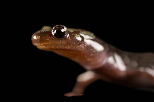An endangered (IUCN) and federally threatened peaks of otter salamander (Plethodon hubrichti) from a private collection.