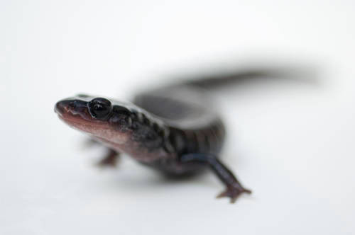 Yonahlossee salamander (Plethodon yonahlossee) at the Tennessee Aquarium.